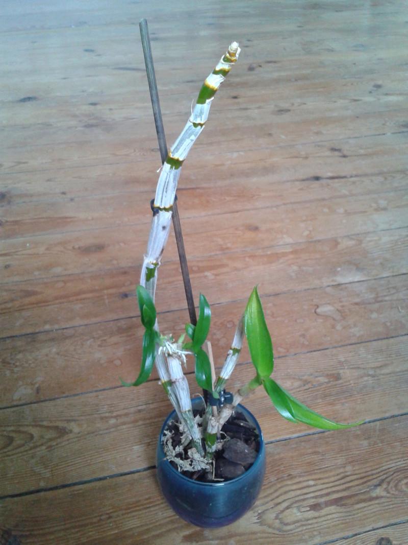 Dendrobium phalaenopsis : Help-Désespérée moi aussi! - Page 2 2017-026