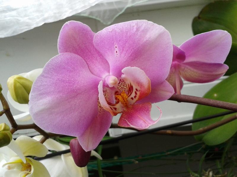 Phalaenopsis hybrides 2017-126