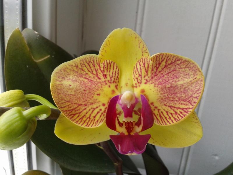 Phalaenopsis hybrides 2017-127