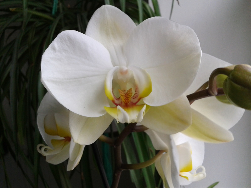 Phalaenopsis hybrides 2017-129