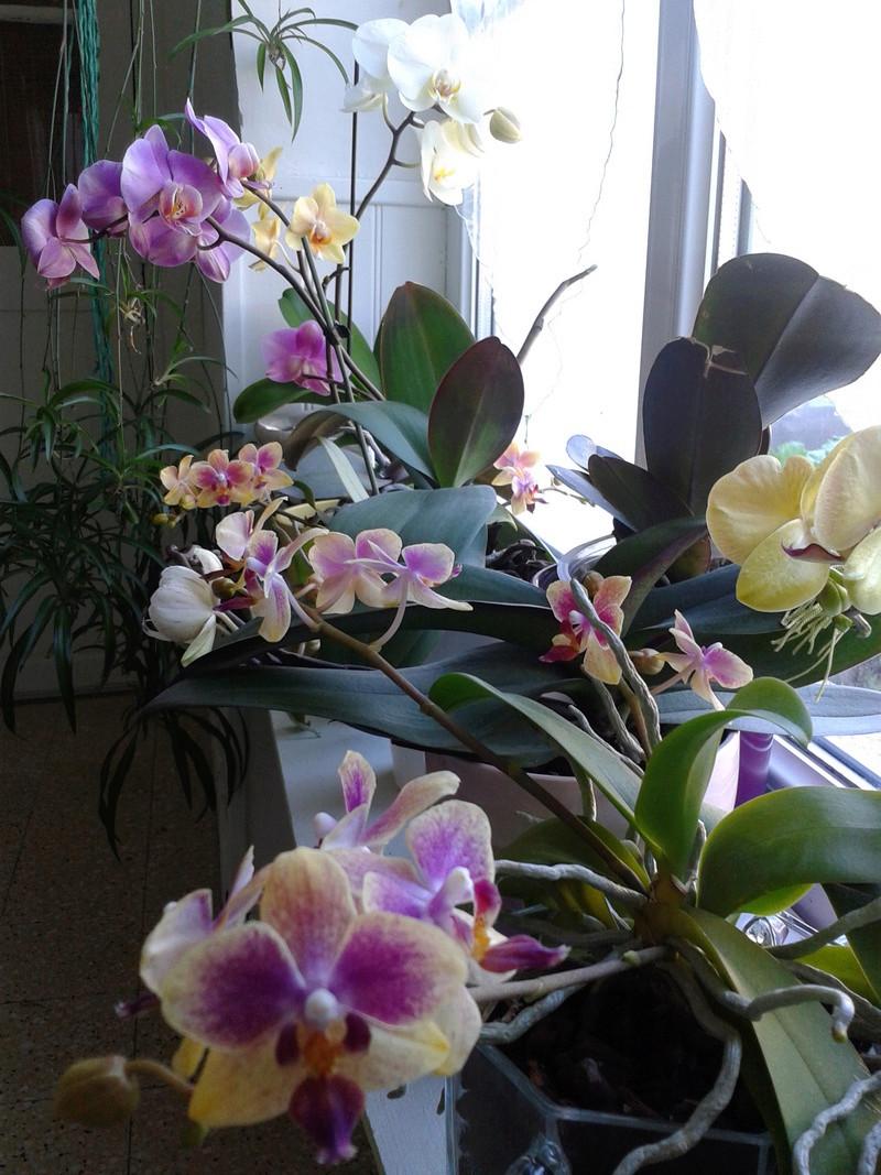 Phalaenopsis hybrides 2017-161
