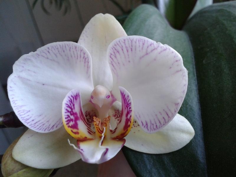 Phalaenopsis hybrides 2017-162