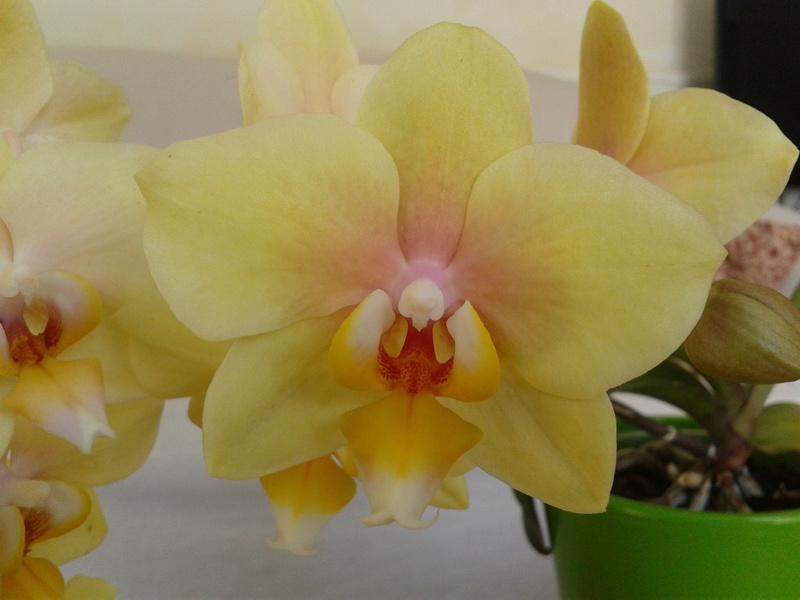 Phal hybride jaune 2017-234