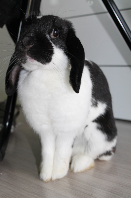 Hermine, lapine bélier, née en 2012 Img_4413
