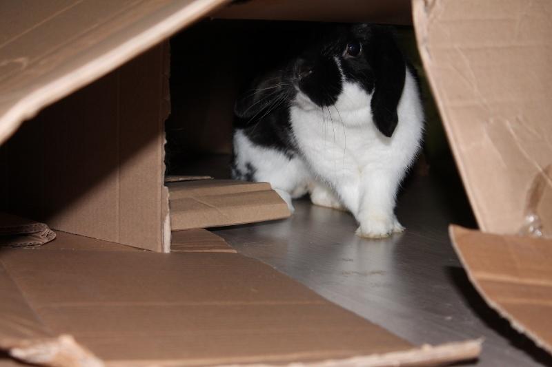 Hermine, lapine bélier, née en 2012 Img_5010