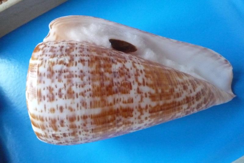Conus (Kalloconus) pulcher  [Lightfoot], 1786 - Page 2 Conus_10
