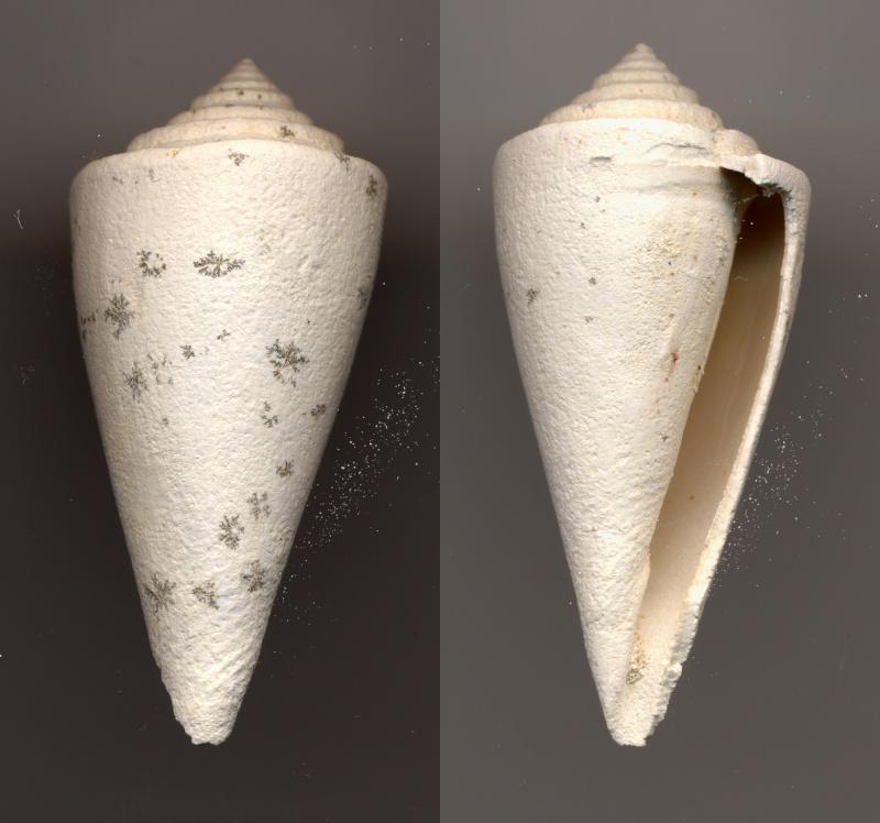 Conidae - † Conus deperditus, Bruguière 1792 Fossil10