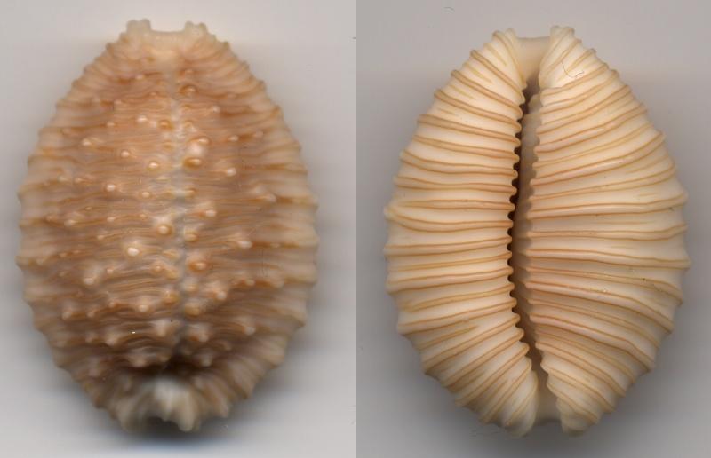 Nucleolaria granulata - (Pease, 1862) Granbu10