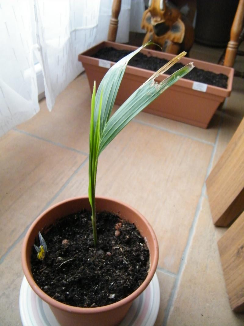 semis de palmiers - Page 2 Dscf5614