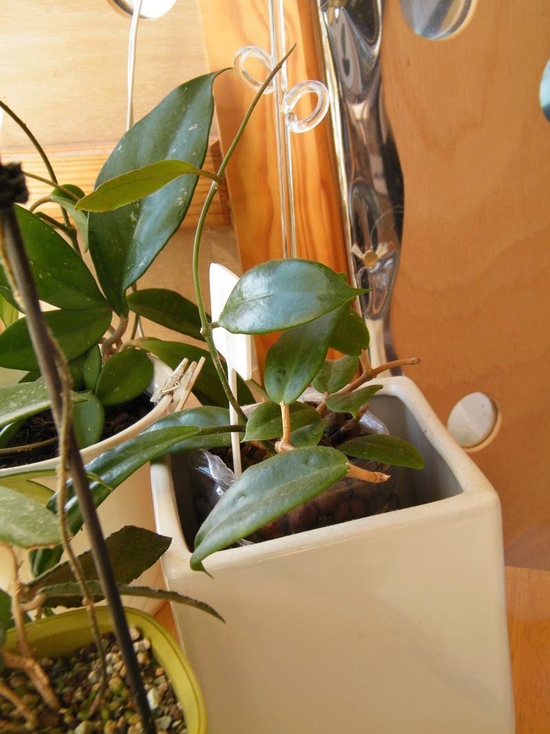 Hoya mindorensis Dscf7313