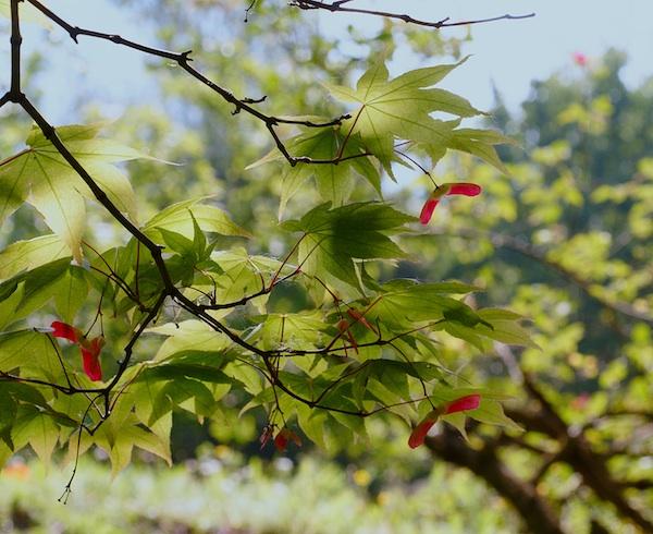 (Italie) Giardini di Ninfa Acer_p10