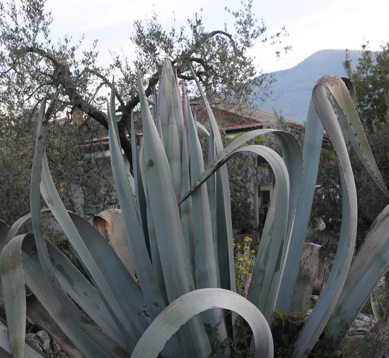 Agave americana  - Page 2 Agave_10