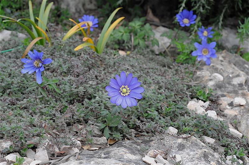 regain fleuri Anemon13
