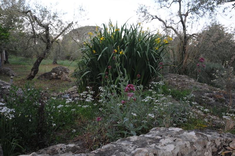 Iris pseudacorus - iris des marais  Iris10