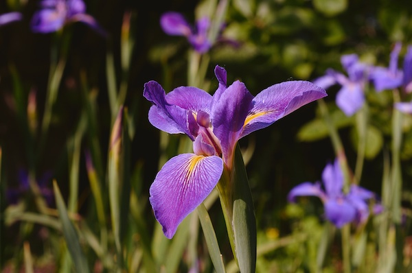 (Italie) Giardini di Ninfa Iris_i10