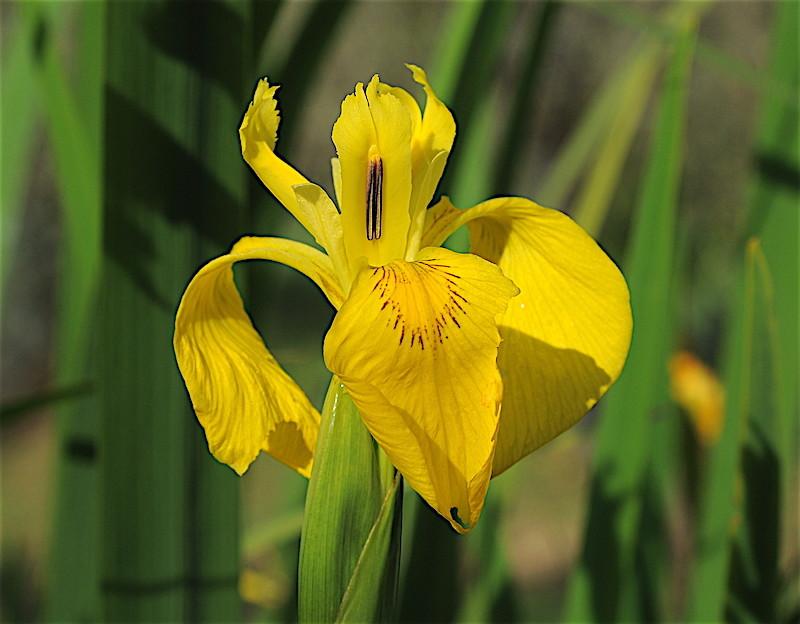 Iris pseudacorus - iris des marais  Iris_p12