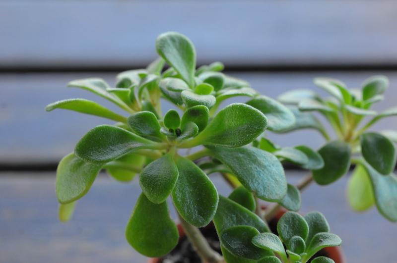Sedum mocinianum, Echeveria elegans, Echeveria rubella ?, Aichryson sp., Delosperma echinatus  [identifications non terminées] Plante11