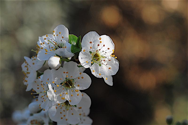 regain fleuri Prunus11