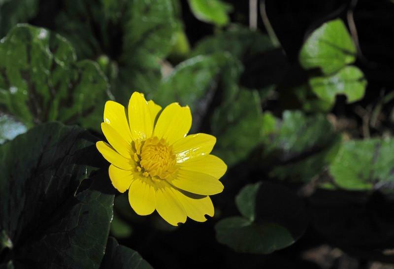 Ficaria verna (= Ranunculus ficaria) - ficaire - Page 2 Ranunc12