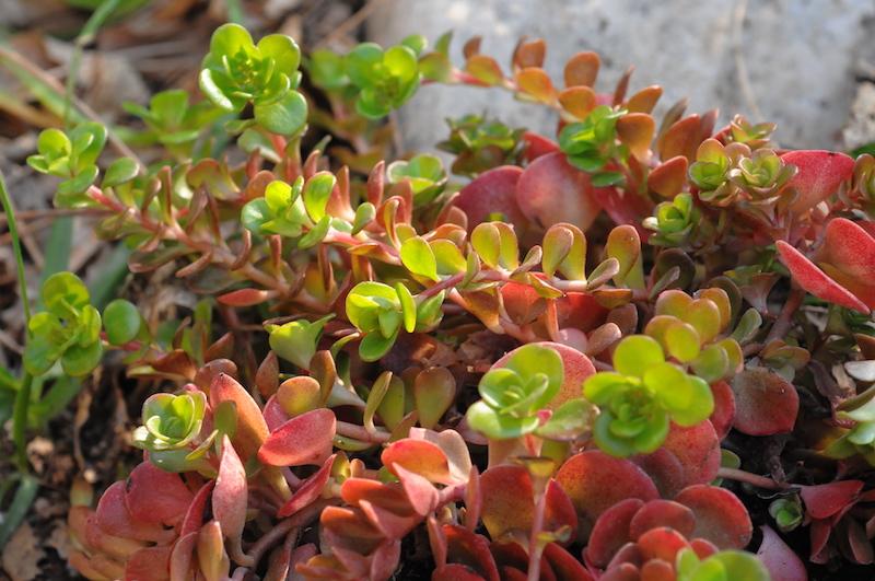 Sedum spurium et Sedum tetractinum 'Coral Reef' [Identifications] Sedum_12