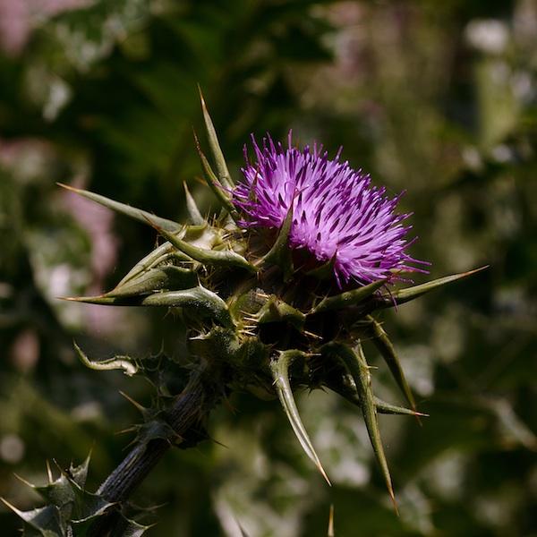 (Italie) Giardini di Ninfa Silybu10