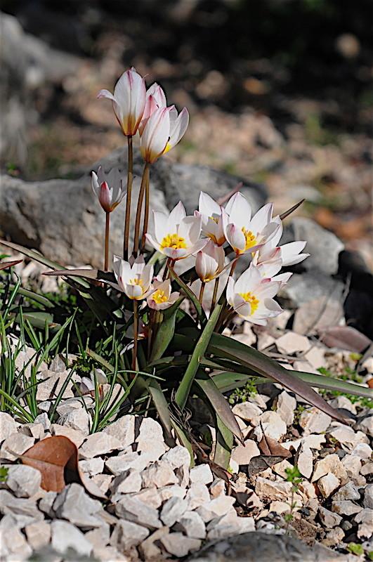 regain fleuri Tulipa10