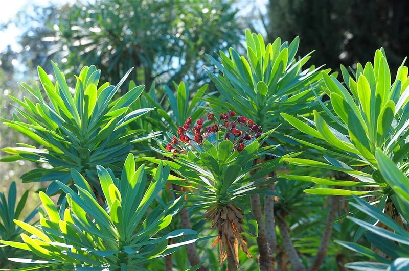 Euphorbia atropurpurea  Unname10