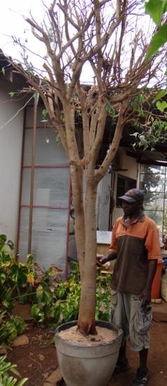 31 year old Ficus burkei progression. - Page 2 Dsc01211