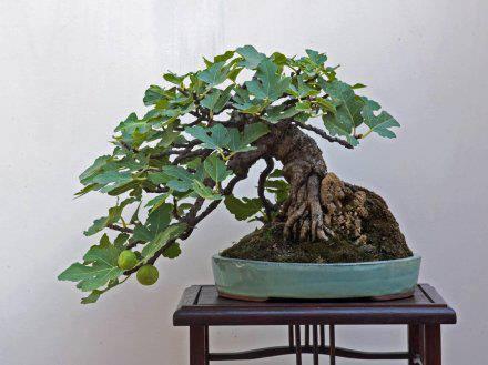 Ficus carica (chicago fig ) Ficus_14