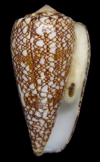 Darioconus madagascariensis (Sowerby II, 1858) 02320_14