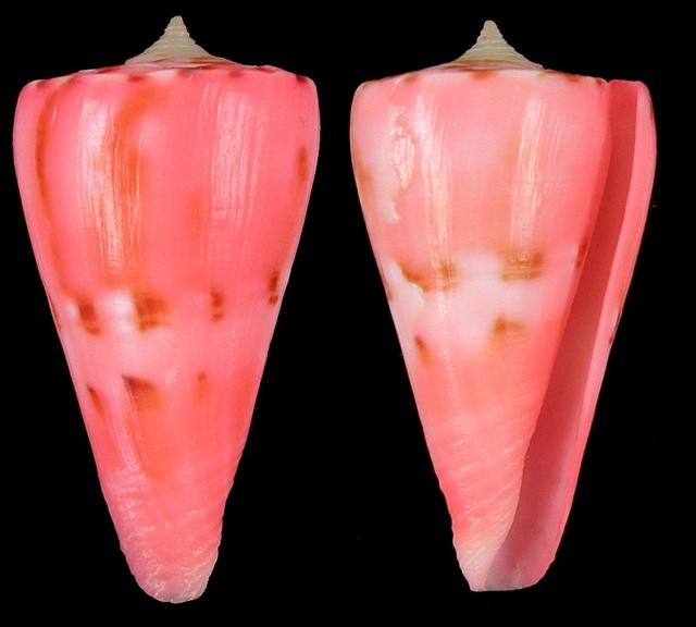 Conus (Dauciconus) vikingorum  Petuch, 1993 Sans-t11