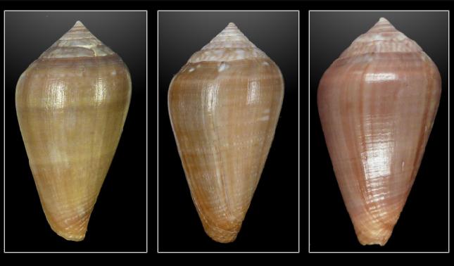 Conus (Lautoconus) unifasciatus Kiener, L.C., 1845 Sans_t10