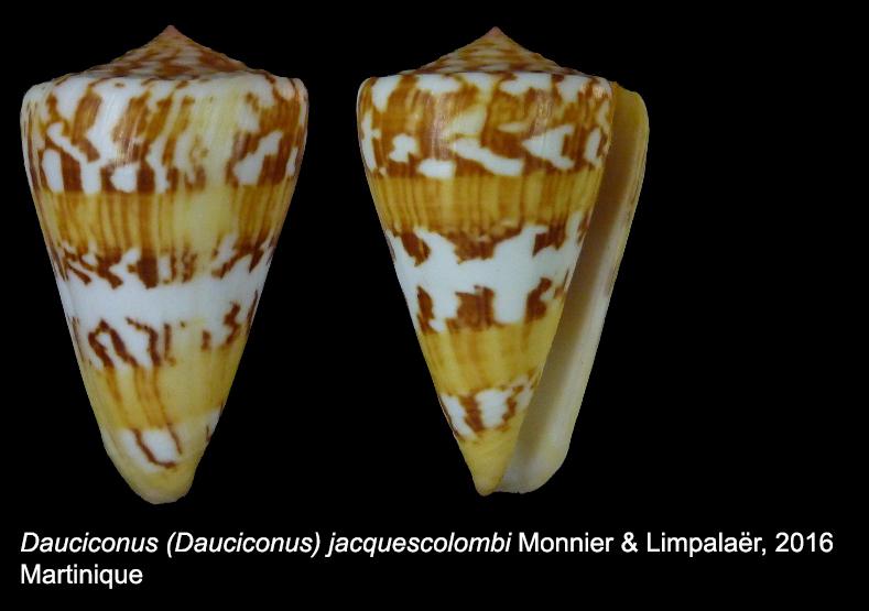 Conus (Dauciconus) jacquescolombi   Monnier & Limpalaër, 2016 Sans_t12