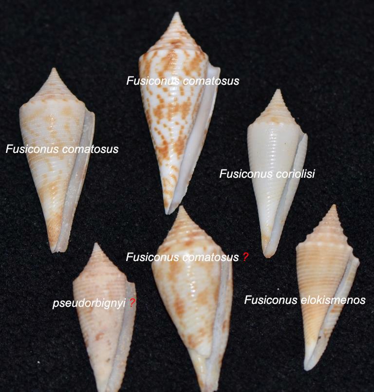 Conus sp. 089 --> 094 = divers fusiconus Sans_t14