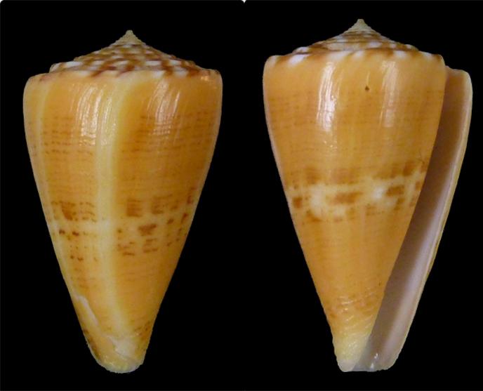Conus (Dauciconus) goajira Petuch, 1992 Sans_t15