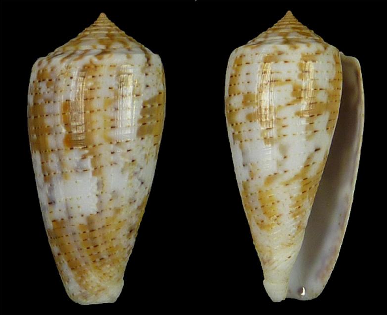 Conus (Pionoconus) arafurensis  (Monnier, Limpalaër & Robin 2013) Sans_t17