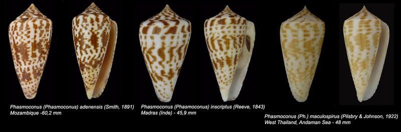 Conus (Phasmoconus) inscriptus  Reeve, 1845 - Page 3 Sans_t19