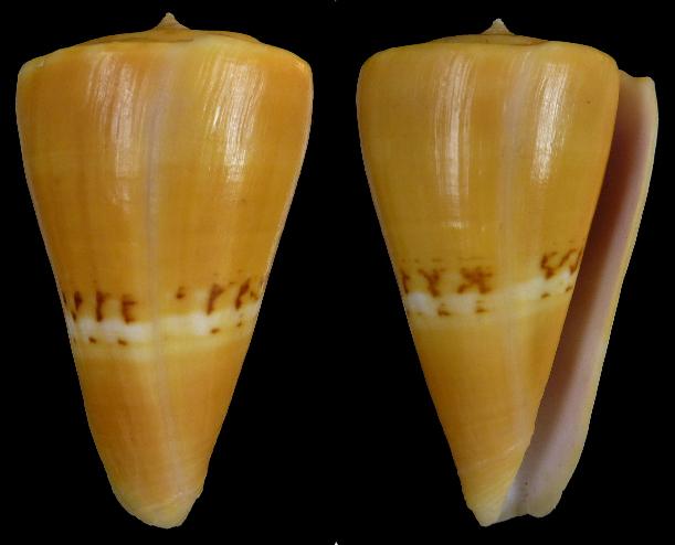 Conus (Dauciconus) worki Edward J. Petuch, 1998 Sans_t21