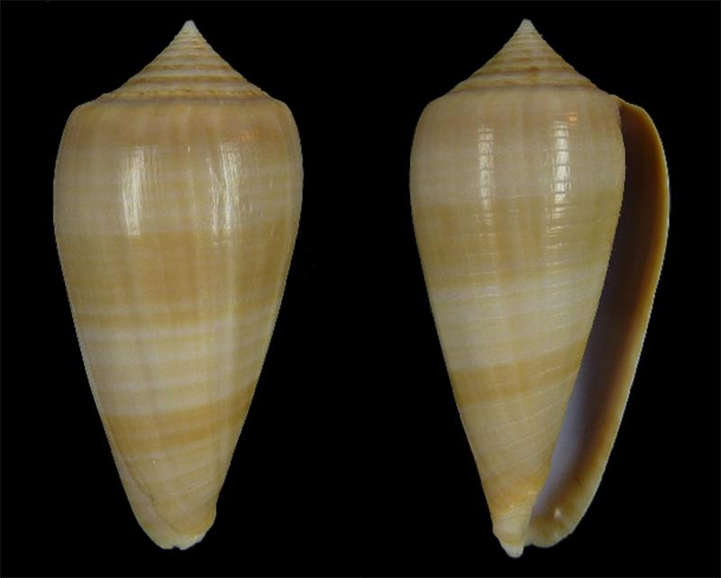 Conus (Phasmoconus) lynceus  GB. Sowerby II, 1858 - Page 2 Sans_t25
