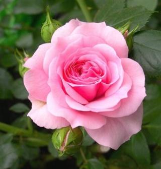 Ma TS  (rose) de 1982 - Page 5 Pink_r11