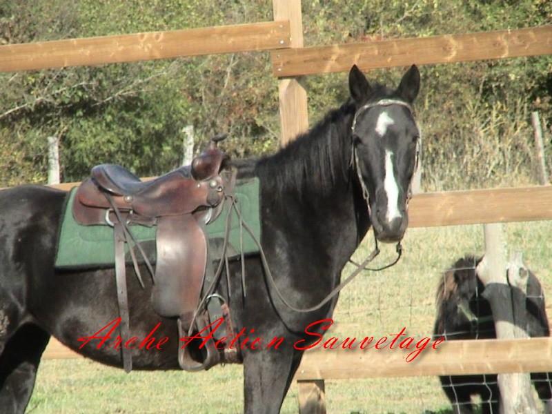 PEARL BLACK jument noire de 10 ans,pleine dépt 87 Pearl_11