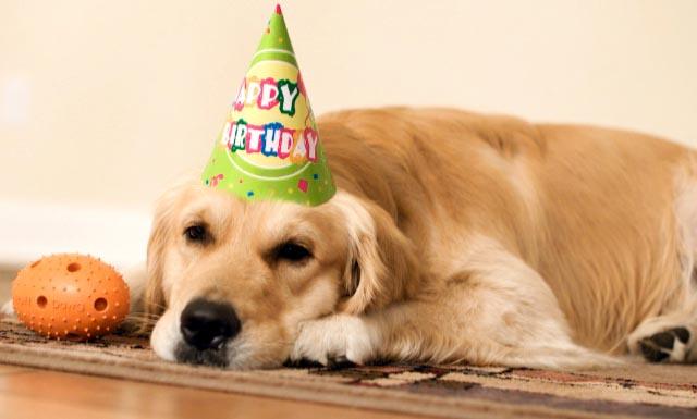 anniversaire chien golden