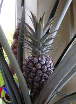 la culture de l'ananas - Page 3 100_0810