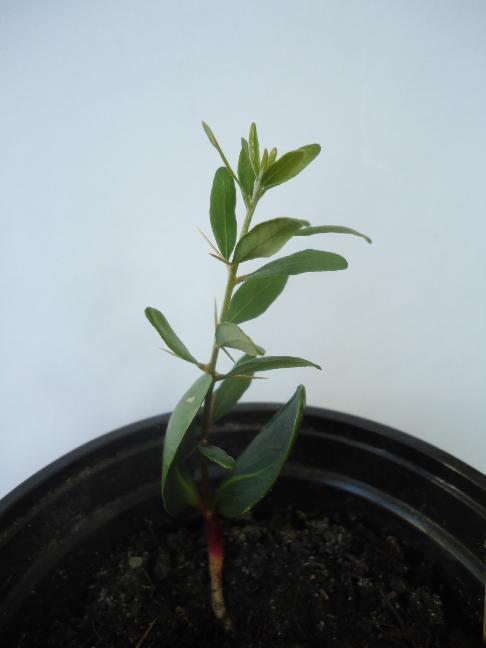 Argania spinosa- L'Arganier  Arg-110