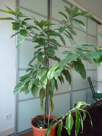 mon Avocatier-Persea americana - Page 2 Avocat10