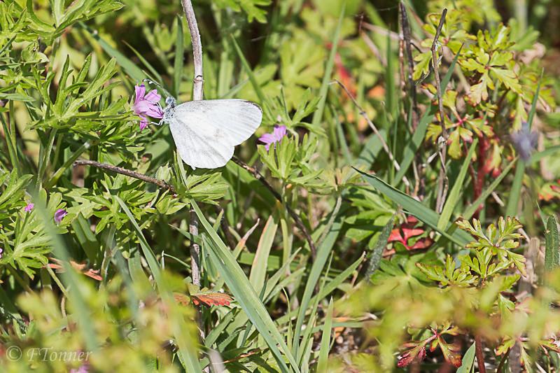 Autre papillon à identifier 20170512