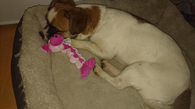 LEXIE, petite ratière tricolore de 2 ans  Arriv10