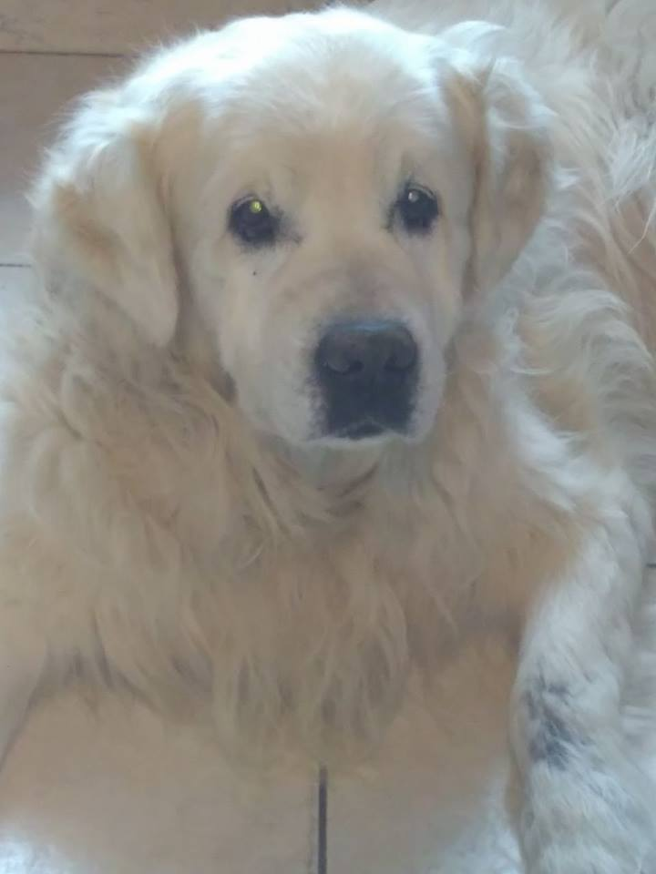 VIKING, golden retriever de 11 ans réapprend la vie en maison ... Beltet10