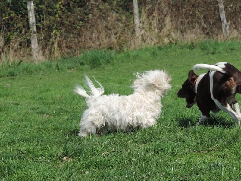 ERA, jolie Coton de Tuléar de 8 ans, réformée d'élevage Jx210