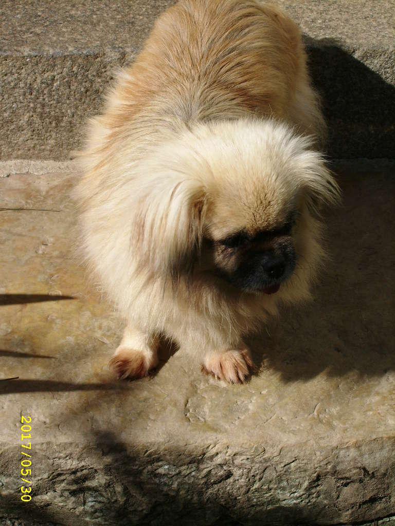 FLAMME - 6ans 1/2 - jolie Epagneul du Tibet réformée d'élevage  Ssa56832